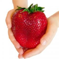 Φράουλα γίγας - 3 ριζώματα