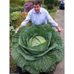 Τεράστιο Ρωσικό  Λάχανο 20 Σπόροι