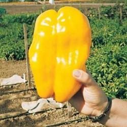"""Τεράστια Κίτρινη Πιπεριά """"Monster"""" - 20 σπόροι"""