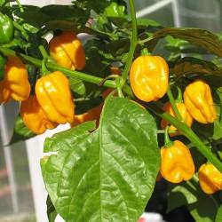 Habanero Κίτρινη Καυτερή Πιπεριά- 20 Σπόροι