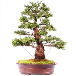 Hinoki Cypress Μπονσαι 10 Σπόροι