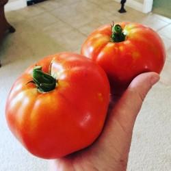Ντομάτα Homestead Τεράστιοι καρποί μέχρι 1kg - 15 σπόροι