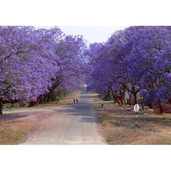 Γιακαραντα (Jacaranda) - 10 Σπόροι Τζακαράντα