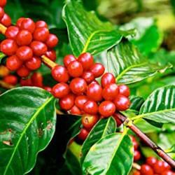 Καφεόδεντρο Coffea Arabica. Φτιάξτε το δικό σας φλιτζάνι καφέ! 1 Δεντράκι 25εκ