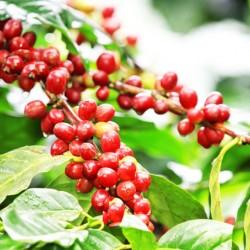 Καφές (Coffea Arabica) 10 σποροι
