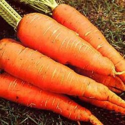"""Καρότο Γίγαντας """"Flakkee"""" 6γρ σπόροι Καρότου"""