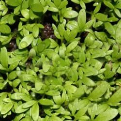 Κάρδαμο 7γρ. Σπόροι Κάρδαμου