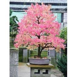 Katsura Tree Μπονσαι/Bonsai 15 Σπόροι