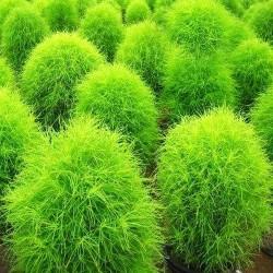 Κόχια/Kochia Το δίχρωμο φυτό! Σπόροι 1γρ