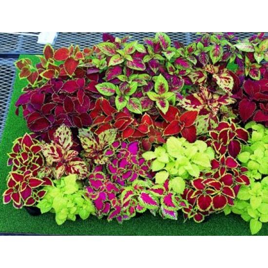 Κολεός / Ωραίο Φύλλο Μιγμα Χρωμάτων Πακέτο Σπόρων 0,20γρ Σπόροι