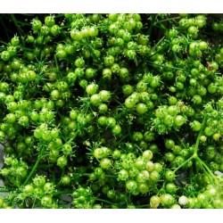 Κόλιανδρο 10γρ σπόροι κολίανδρου