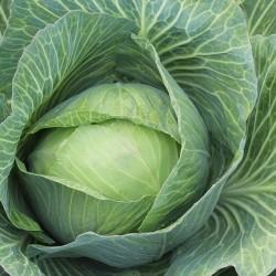 Λάχανο Λευκό 5γραμ. Σπόροι