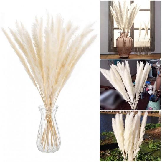 Pampas grass λευκό (γυνέριο) αγορά - 20 σπόροι