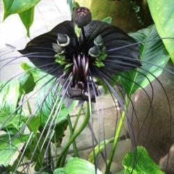 Λουλούδι Νυχτερίδα (Bat Flower - Tacca Chantrieri) - 10 Σπόροι