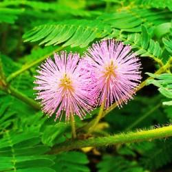 Μιμόζα / Mimosa Pudica 30+ Σπόροι / Φυτό που Κουνιέται! (μη μου απτου)