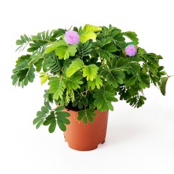 Μιμόζα Μη μου άπτου φυτό αγορά - 1 φυτό 13εκ.