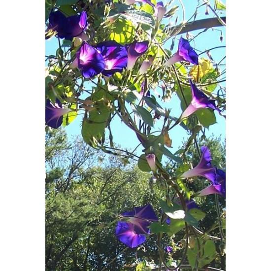Πρωινή χαρά/Ιπομέα (Morning Glory) 2γρ σπόροι αναμικτα χρώματα.