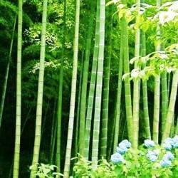 Μπαμπού / Mosso Bamboo φυτό (Phyllostachys edulis)  10 Σπόροι