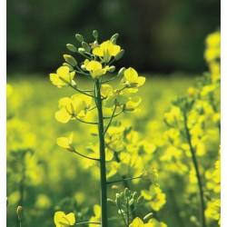 Μουστάρδα Λευκή (White mustard) σπόροι πακέτο 3γρ