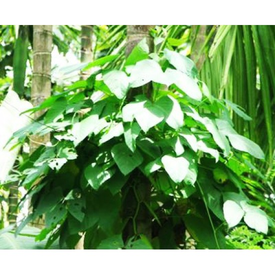 Mucuna Pruriens/Velvet Bean, Μουκούνα Προύριενς kapikachhu 6 Σπόροι