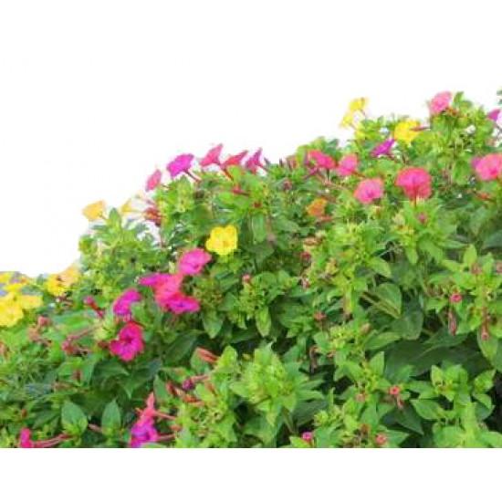 Νυχτολούλουδο σπόροι (Ανάμικτα χρώματα)