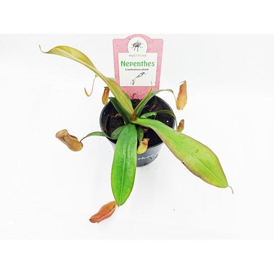 Nepenthes Κανάτα σαρκοφάγο φυτό - 1 φυτό