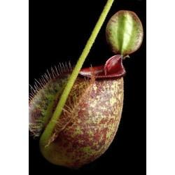 Νηπενθες/Nepenthes Κανάτα σαρκοφάγο φυτό 10 σπόροι