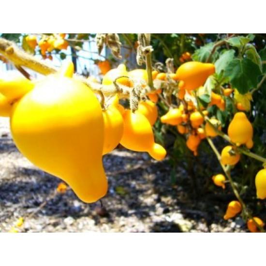 "Nipple Fruit - Το στήθος της αγελάδας"" (Solanum mammosum) 10 Σπόροι"