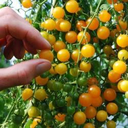 Ντομάτα μικρή κίτρινο μπιζέλι οργανική - 20 Σπόροι