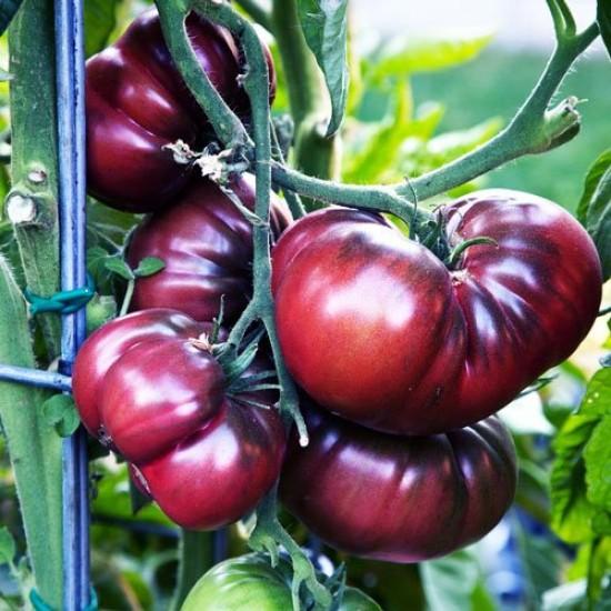 Ντομάτα Μαύρη Brandywine Black Οργανική Παραδοσιακή 30 Σπόροι