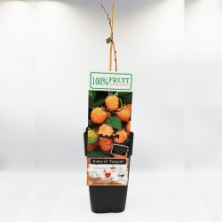 Golden Raspberry | Μούρο / Σμέουρο -1 Φυτό (50εκ.)