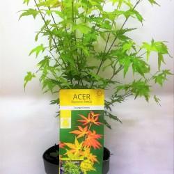 Acer Palmatum Orange Dream 1 Δεντράκι 40-50 εκ.