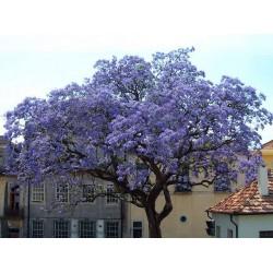 Παουλόβνια/Παυλωνια 30+ σπόροι (Paulownia Tomentosa/Τομεντόζα) To πιο γρήγορο Δέντρο!