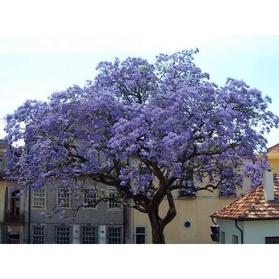 Παουλόβνια/Παυλωνια 30+ σπόροι (Paulownia Elongata/Ελονγκατα) To πιο γρήγορο Δέντρο!