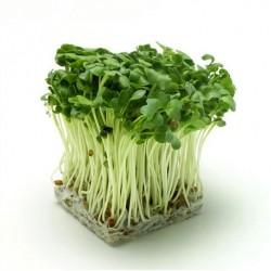 Microgreens - 30 σποροι / Φύτρες γρήγορης ανάπτυξης Ραπανάκι Red Coral
