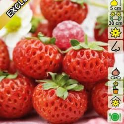Φράουλα Raspy Strawberry 2 ρίζες