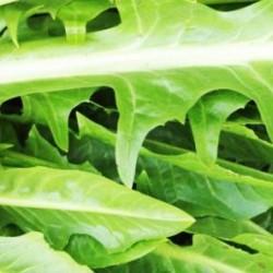 Ραδίκι/ραδίκια Chicory 10gr. σπόροι