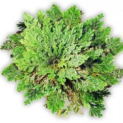 Ρόδο Ιεριχούς/ερήμου - To Φυτό που Ανασταίνεται!