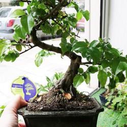 Αυθεντικό μπονσαι δενδράκι εσωτερικού χώρου Sageretia thea 30εκ - 1 Τεμ.