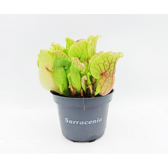 Sarracenia Purpurea Σαρκοφάγο φυτό στο γλαστράκι του 15 - 20 εκ.