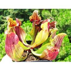Sarracenia/Σαρακένια Purpurea 15 σπόροι - Σαρκοφάγο Φυτό