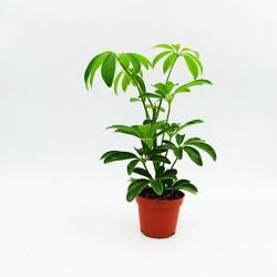 Σεφλέρα 1 φυτό 20 εκ.