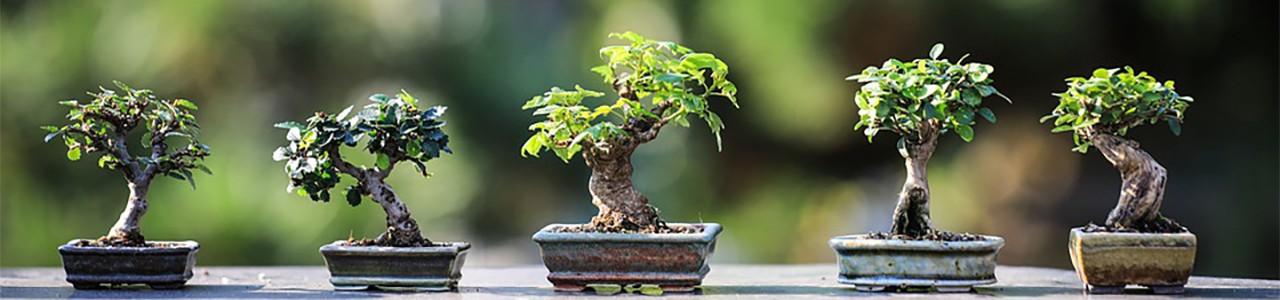 bonsai κιτ καλλιέργειας