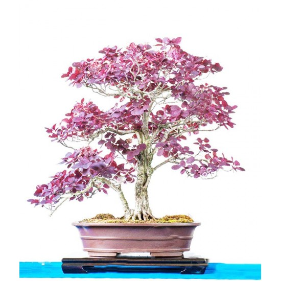 Smoke Tree Μπονσαι Cotinus coggygria - 10 Σπόροι