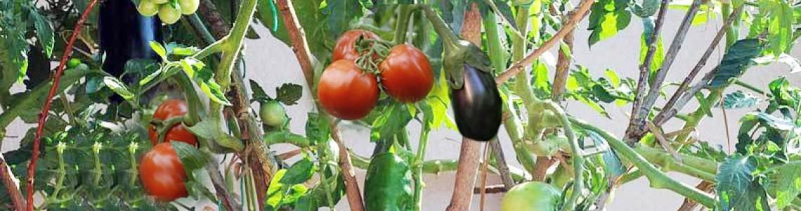 Οδηγιες βλάστησης / Καλλιέργειας  σολανο δεντρου