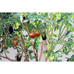 Σολανο Δέντρο / Σολανόδεντρο -15 Σπόροι