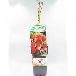Summer Raspbery (Κόκκινο σμέουρο) - 1 φυτό 50εκ.