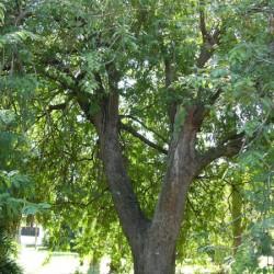 Tamarind - Τάμαριντ - Ταμάρινδος 6 σπόροι (Tamarindus indica)