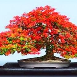 Δέντρο της Φωτιάς (Delonix Regia) Μπονσαι 10 Σπόροι