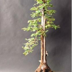 Δέντρο Γίγαντας Σεκόγια (Sequoiadendron giganteum) μπονσάι - 10 σπόροι
